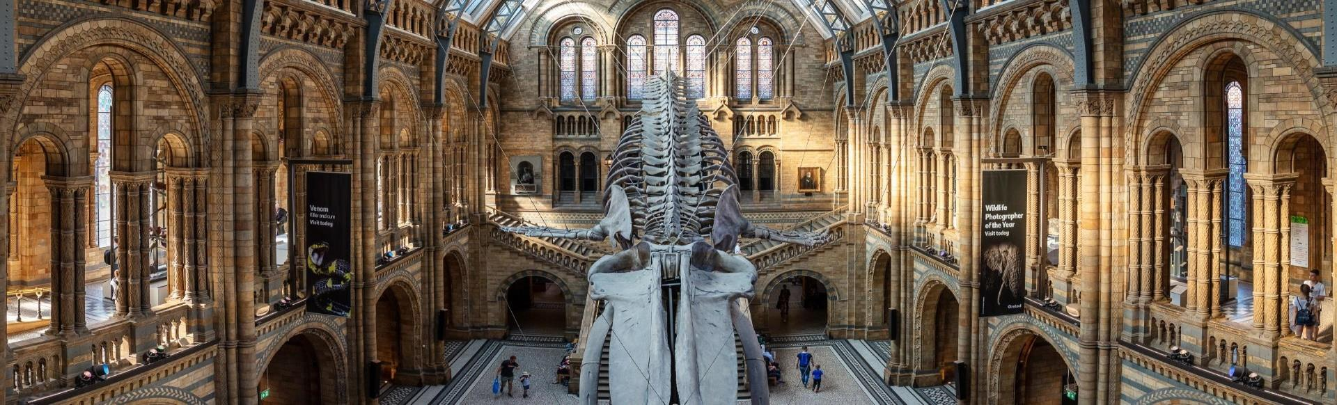 Hope the blue whale hanging in the grand hall of the Natural History Museum in London.