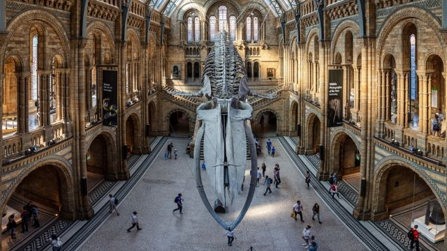 A blue whale skeleton haning from the ceiling inside the Natural History Museum in London.