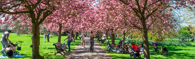 People sitting on the grass and walking through Greenwich Park which is blooming with cherry blossoms.