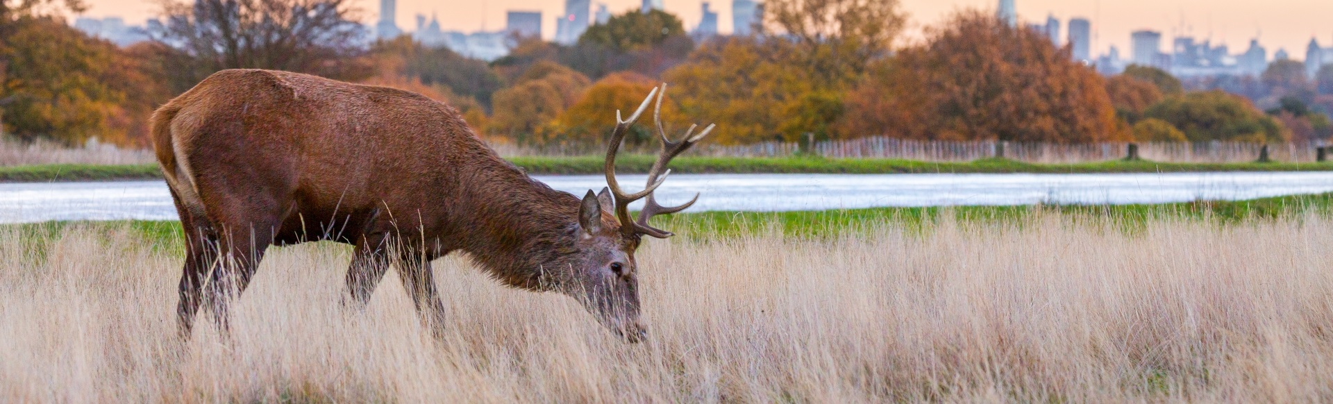 Deer grazes in Richmond Park in front of autumnal trees and the London skyline.
