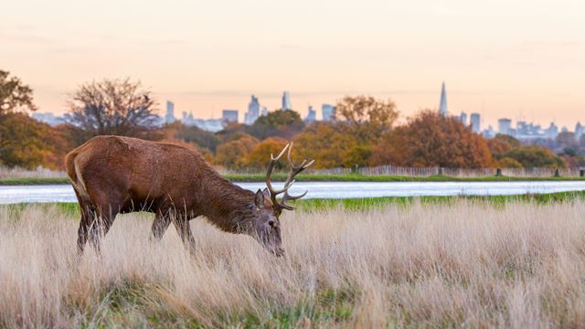 A grazing deer in Richmond park with view of London behind it
