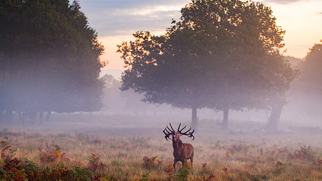 A deer with a fine set of antlers calls on a misty morning, with the mist and mature trees in the background.