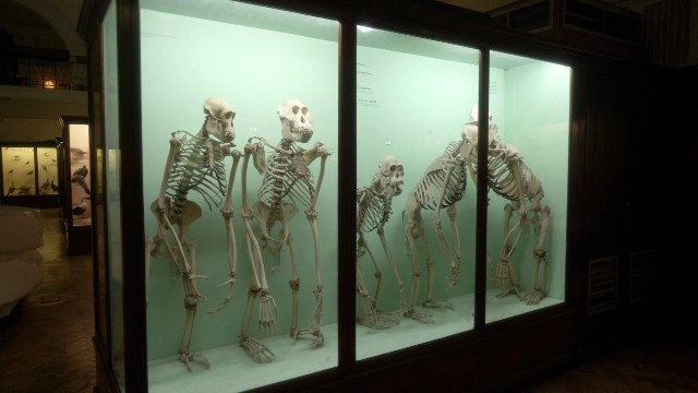A few skeletons in a glass exhibit at The Horniman Museum. Credits: London & Partners.