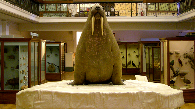 An over-stuffed walrus, racing frontwards, site on a white plinth in the middle of a gallery, with display cases of specimens in the background.