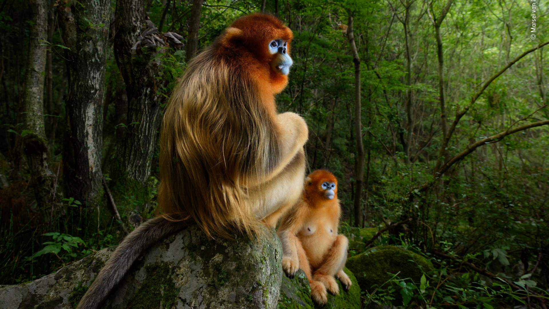 Two Qinling golden snub-nosed monkeys rest on a stone as part of the Wildlife Photographer of the Year exhibition at the Natural History Museum
