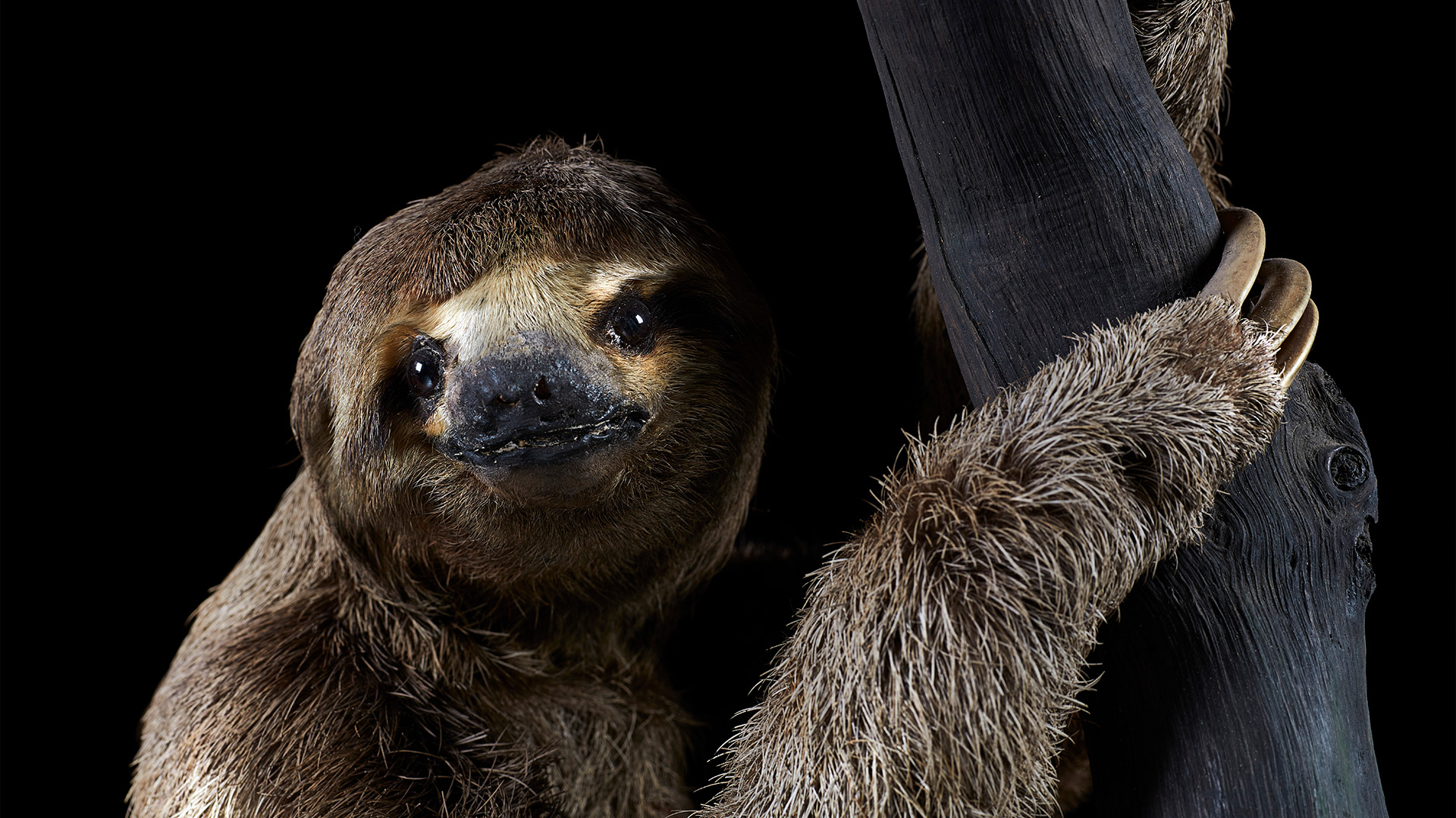 A pale-throated sloth clings to a tree.