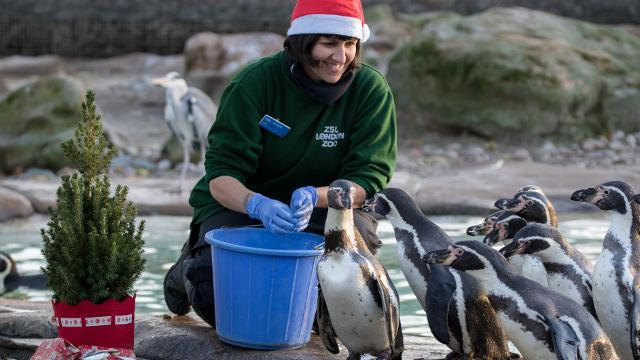 Woman wearing a santa hat feeding the penguins with fish at ZSL London Zoo.