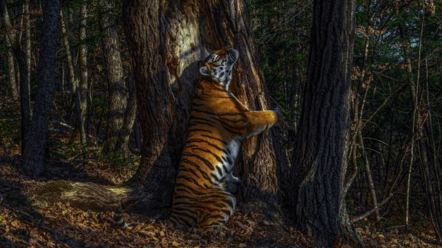A picture of a tiger leaning against a tree.