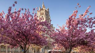 Cherry blossom trees in front of a large building/cathedral.