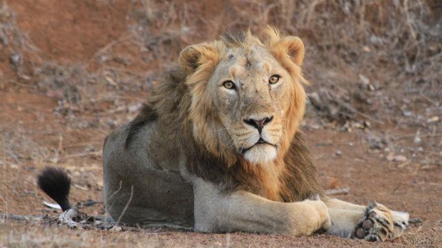Male Asiatic lion, India. Photo: Raj Amin ZSL